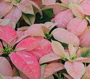 pink               peppermint poinsettia
